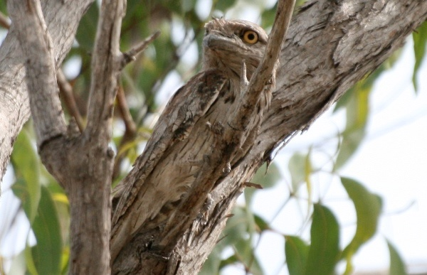 Byron-Bay-Adventure-Tours-Dolphins-Tawny-Frogmouth