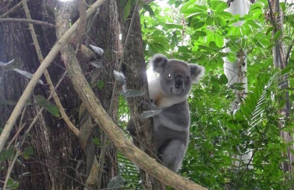 Byron-Bay-Adventure-Tours-Koala