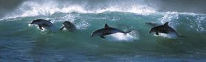 dolphin-300x91
